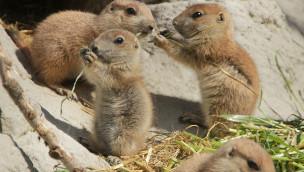 23 Mini-Buddler am Werk: Nachwuchs bei Präriehunden im Erlebnis-Zoo Hannover