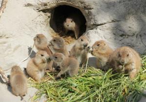 Präriehunde Nachwuchs im Erlebnis-Zoo Hannover