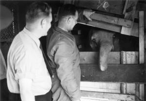 Rani - Elefant in Karlsruhe - 1957