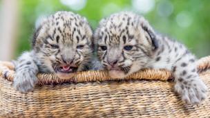 Schneeleoparden-Babys im Wildpark Lüneburger Heide zur Welt gekommen