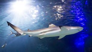 SEA LIFE Konstanz informiert 2015 in Vorträgen wieder über Haie