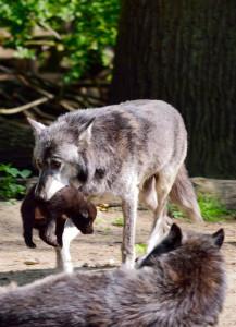Wolf-Nachwuchs in der Zoom Erlebniswelt 2015