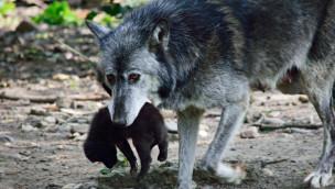 Wolfsbabys in der ZOOM Erlebniswelt: Tapsiger Nachwuchs erobert sein Revier