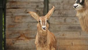 Pferdeantilopen im Erlebnis-Zoo Hannover haben Nachwuchs bekommen