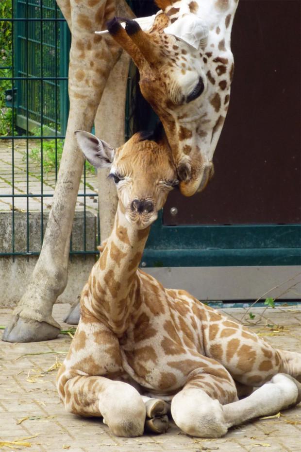 Bashira ZOOM Erlebniswelt Giraffenbaby 2015 Juli