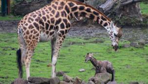 Giraffenbaby in der ZOOM Erlebniswelt im Juli 2015