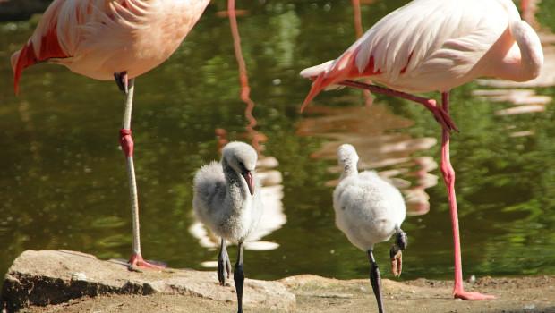 Flamingo-Babys im Erlebnis-Zoo Hannover 2015