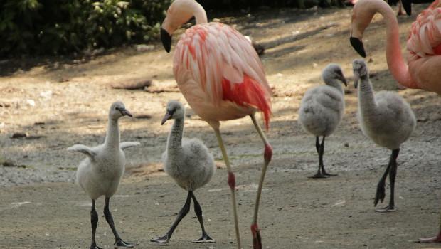 Flamingo-Küken im Erlebnis-Zoo Hannover 2015