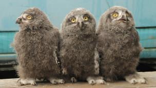 Erlebnis-Zoo Hannover gibt Nachwuchs bei Schnee-Eulen 2015 bekannt