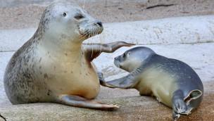 "Zoo Karlsruhe – Seehund-Baby ""Dörle"" am 20. August 2015 geboren"