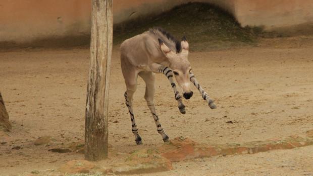 Somali Wildesel-Fohlen im Zoo Hannover 2015