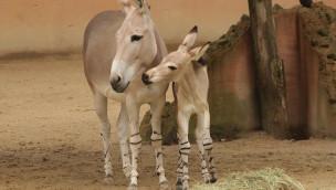 Somali-Wildesel im Zoo Hannover mit Nachwuchs 2015
