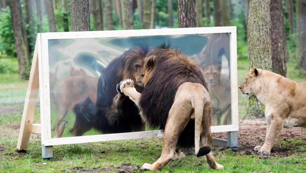 Tiere sehen ihr Spiegelbild: Löwe im Serengeti-Park