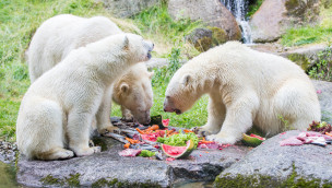 Tierpark Hellabrunn feiert Internationalen Eisbärentag 2016 am 27. Februar