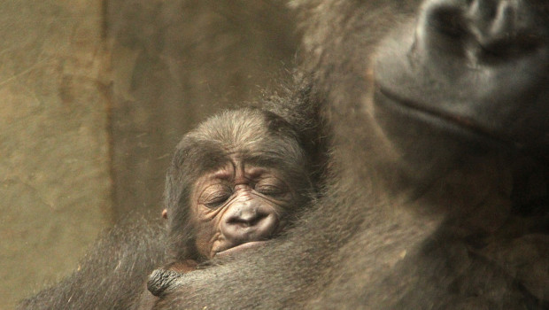 Flachland-Gorilla-Baby - Zoo Hannover 2015