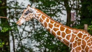 Neue Giraffe in Hellabrunn - Taziyah