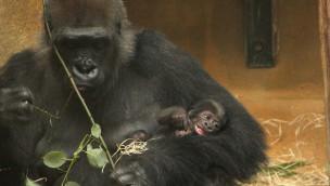 Erlebnis-Zoo Hannover – Flachland-Gorillas mit Nachwuchs 2015