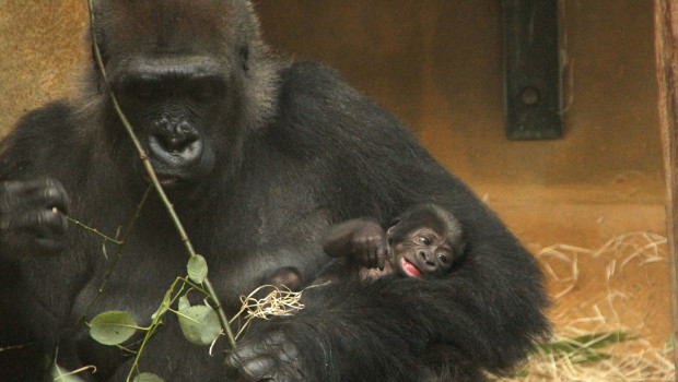 Gorilla-Baby im Zoo Hannover 2015
