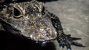 Krokodile im Tierpark Hellabrunn: Nach 15 Jahren ziehen zwei Stumpfkrokodile ein
