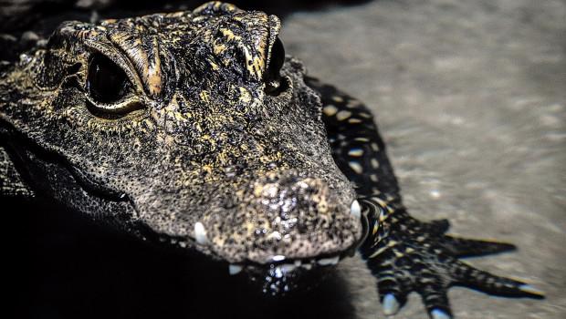 Krokodil im Tierpark Hellabrunn 2015