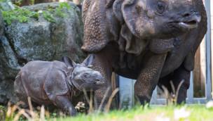 Tierpark Hellabrunn – Nashornbaby erkundet seine Anlage