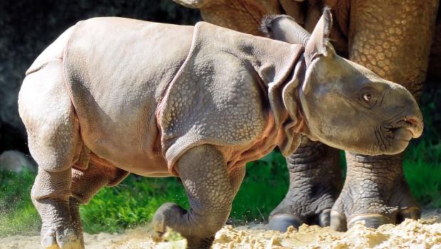 Nashornbaby Puri im Tierpark Hellabrunn