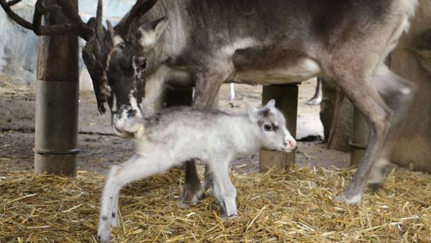 Rentier-Baby in der ZOOM Erlebniswelt 2015