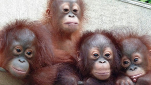 """Biosphäre Potsdam – Fotoausstellung """"Letzte Hoffnung für die Orang-Utans"""" eröffnet"""