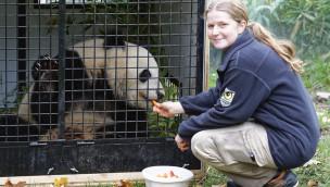 Panda Fu Bao verlässt Tiergarten Schönbrunn und reist nach China