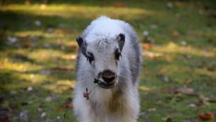 Yak-Kälbchen im Tierpark Hellabrunn 2015 nach fast fünfjähriger Baby-Pause geboren