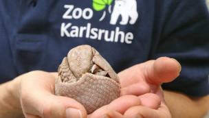 Kugelgürteltier-Baby im Zoo Karlsruhe: Lilli und Eco haben Nachwuchs