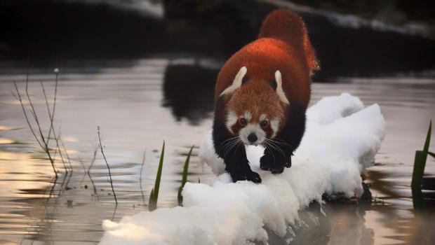 Kleiner Panda im Schnee im Tierpark Hellabrunn