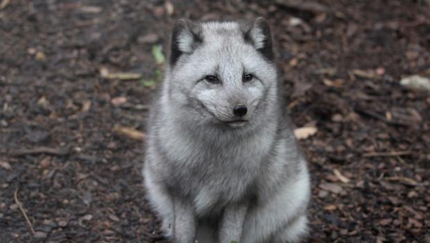 Polarfuchs-Weibchen im Zoo Osnabrück