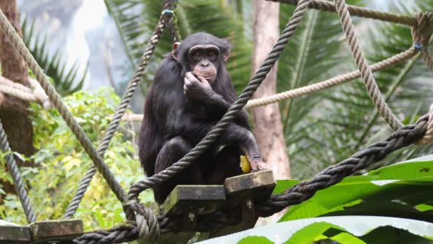 Schimpanse im Zoo Osnabrück auf der Hängebrücke im Indoor-Gehege