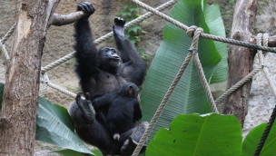 Schimpanse im Zoo Osnabrück im Winterquartier 2015