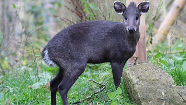Klausi - Schopfhirsch im Zoo Osnabrück