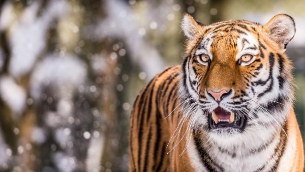 Sibirischer Tiger bei Schneefall im Tierpark Hellabrunn