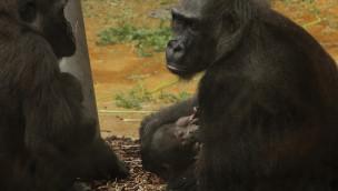 Gorilla-Baby im Zoo Hannover im November 2015