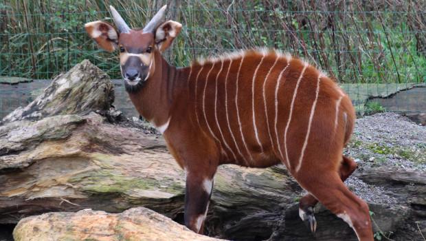 Zoo Osnabrück Bongo