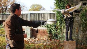 Zoo Osnabrück – Schnee-Eulennachwuchs übt das Fliegen