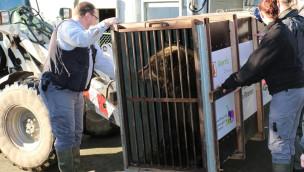 "ZOOM Erlebniswelt verabschiedet Kodiakbär ""Brenda"" nach Wuppertal"