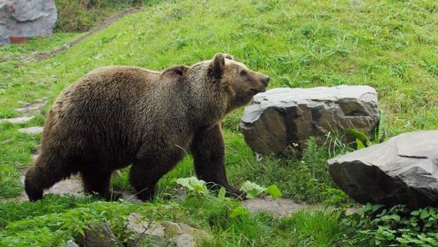 """ZOOM Erlebniswelt Kodiakbär """"Brenda"""""""