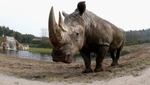 Serengeti-Park – Ältestes Breitmaulnashorn der Welt gestorben