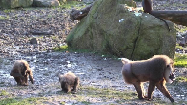 Drill Gruppe im Zoo Osnabrück