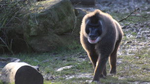Drill im Zoo Osnabrück