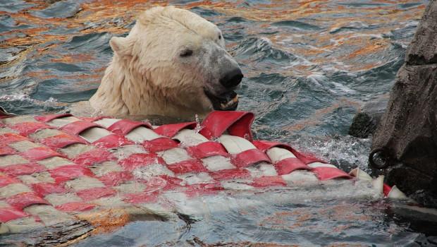 Eisbär Nanuq untersucht das Schlauchfloss.