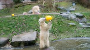 Wenn Eisbären-Zwillinge Geburtstag feiern: Fotos von Nelas und Nobbys Geburtstagsparty 2015 im Tierpark Hellabrunn