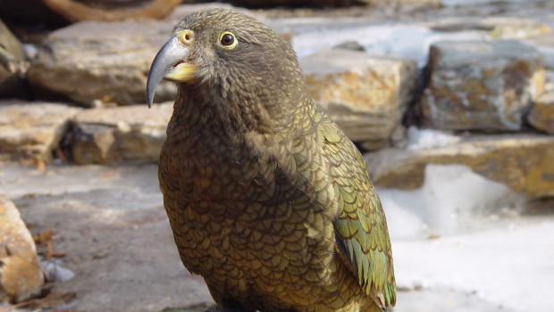 Kea Papagei im Tierpark Hellabrunn