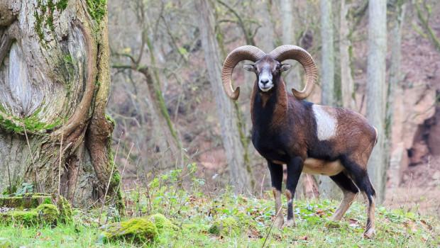 Mufflon im Eifelpark Gondorf