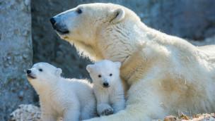 Tierpark Hellabrunn lädt zur Geburtstagsparty bei den Eisbärenzwillingen Nela und Nobby ein